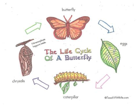 butterfly life cycle for preschool 37 best cycles of animals images on 723
