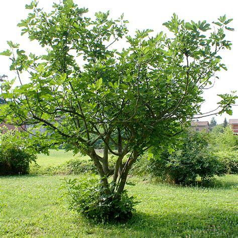 Hortus Italicus: Ficus carica L. 1753