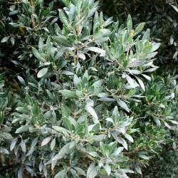 phillyrea latifolia information pictures cultivation tips