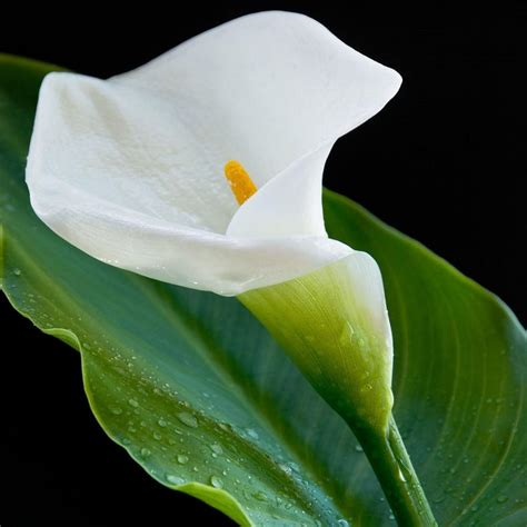 picture of calla calla lily white giant zantedeschia aethiopica bulbs giant white calla easy to grow bulbs