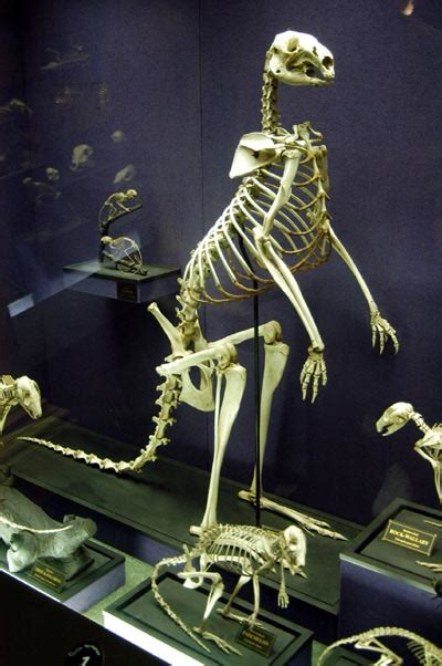 kangaroo skeleton australian museum photo brian