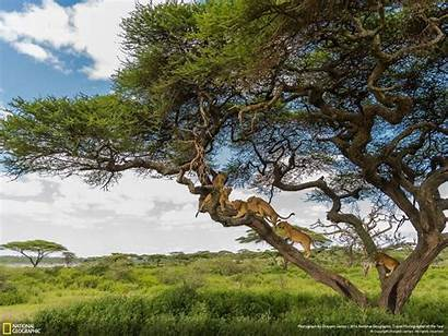 Geographic National Animals Lion Jungle Nature Savanna