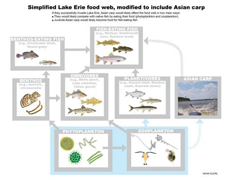 web cuisine carp may cause lake erie fish to decline great
