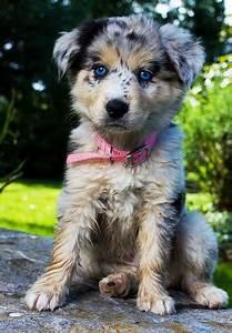 puppy blue eyes Australian shepherd ...