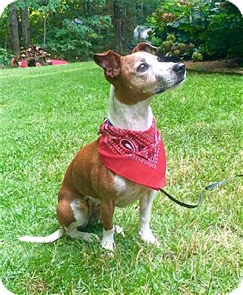 huntsville al jack russell terrieritalian greyhound