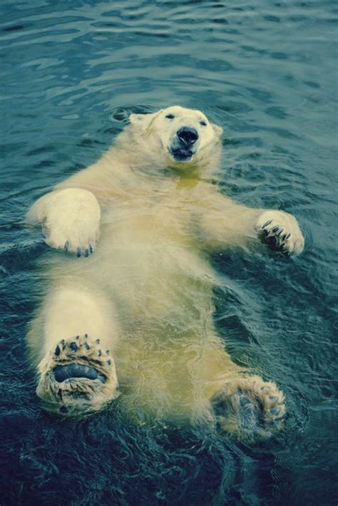 lours polaire en  photographies uniques