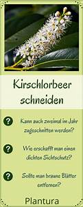 Wann Schneidet Man Kirschlorbeer : kirschlorbeer schneiden wann wie erfolgt der r ckschnitt kirschlorbeer kirschlorbeer ~ Watch28wear.com Haus und Dekorationen