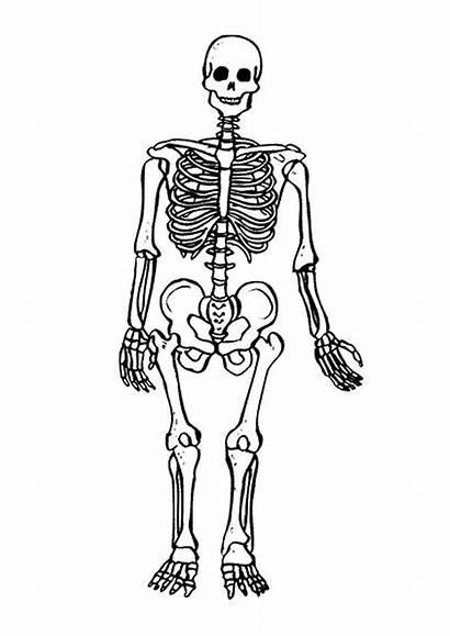 Skeleton Coloring Human Pages Printable Anatomy Bones