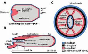 Anatomy Of Nematostella   The Body Consists Of An Outer