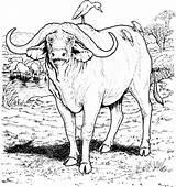 Buffalo Coloring Animal Animals Sheets sketch template