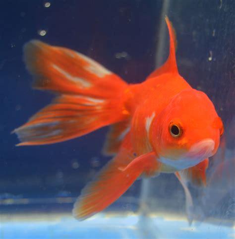 Garden Goldfish by Goldfish From Garden