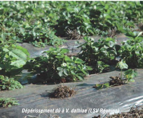chambre d agriculture 36 deux dépérissements à distinguer sur fraisier bulletin