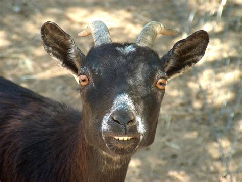 goat pictures pics images     tattoo