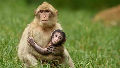 Monkey Care Child His Mom Animals Wallpapers