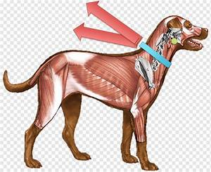 Dog Anatomy Organs