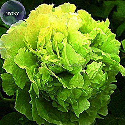Solution Seeds Farm Rare Hierloom Rare 'Lv Juren' Green ...