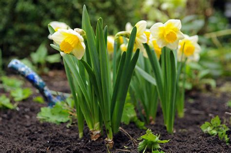buy large cupped daffodil bulbs narcissus salome