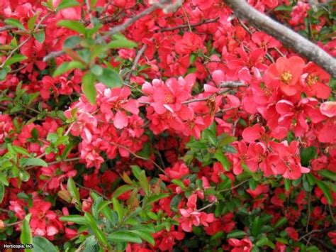 17 Best Ideas About Chaenomeles On Pinterest  Coral Co Uk