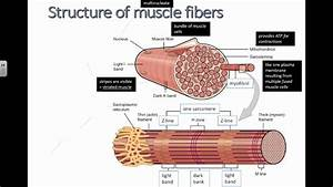 Structure Of Muscle Fibers  Ib Biology
