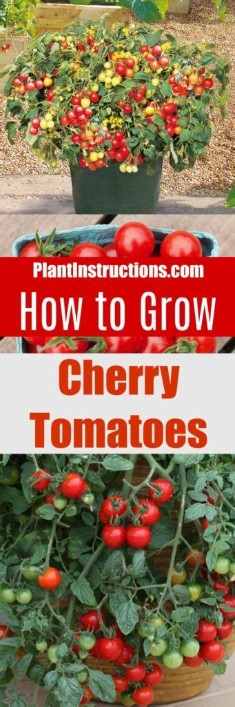 how to grow tomatoes how to grow cherry tomatoes in pots plant instructions
