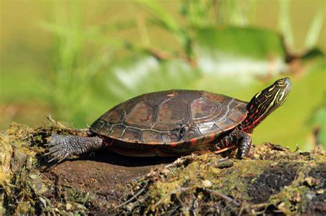 painted turtle pet smart tortoise care sheet for turtles tortoises
