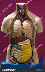 Model Human Body Showing Internal Organs Stock Photo