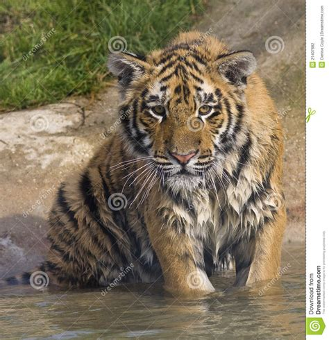 Wet Tiger Cub Stock Photography Image