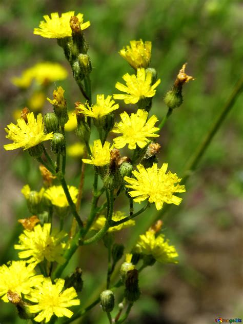 wiesenblumen kleine gelbe blumen gras