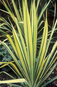 "Great Plant Picks: Yucca filamentosa ""Color Guard ..."