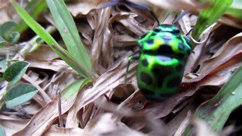 Kumbang kura kura - YouTube