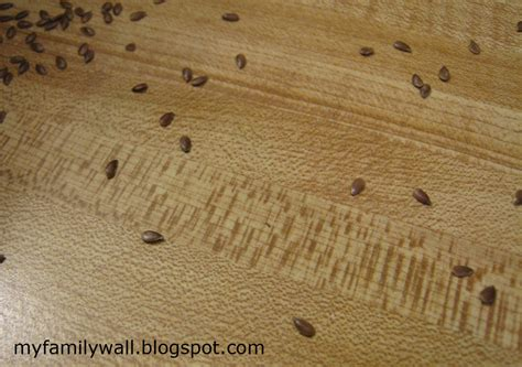 do bed bugs come out in light do bed bugs come out in light earwig facts about earwigs