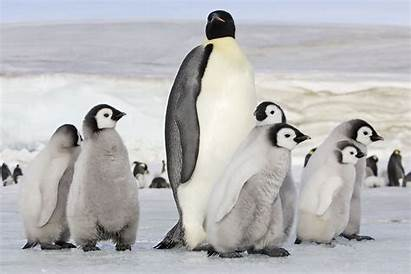 Penguin Emperor Wallpapers Pengui Backgrounds Kite Related