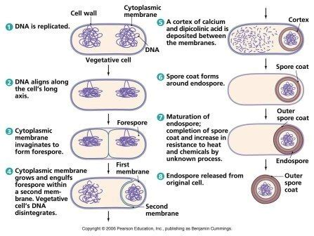 how is asexual reproduction in bacteria called what are some exles quora