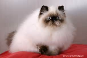 himalayan cat pictures himalayan cat breed cat pictures information