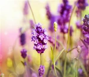 Wann Wird Lavendel Geschnitten : lavendel anbau pflege und vermehrung ~ Lizthompson.info Haus und Dekorationen