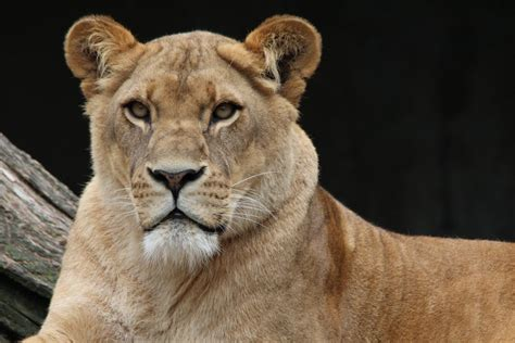 brown lioness  stock photo