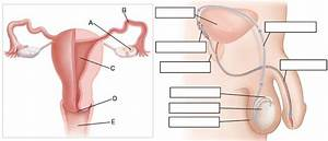 Reproductive System Review Guide