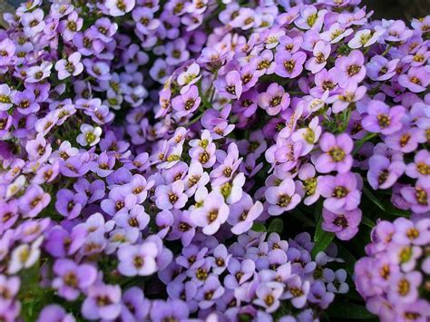 Common Name Sweet Alyssum On Pinterest One Room Carpet Cleaning Professional Car Cleaner Machine Celebrity Red Fashion Games Banner Carpets Santa Monica Ca Commercial Grade Stairs Stretching Kitchener Waterloo Shaw Contract Broadloom Best Way To Remove Cat Vomit Stains From
