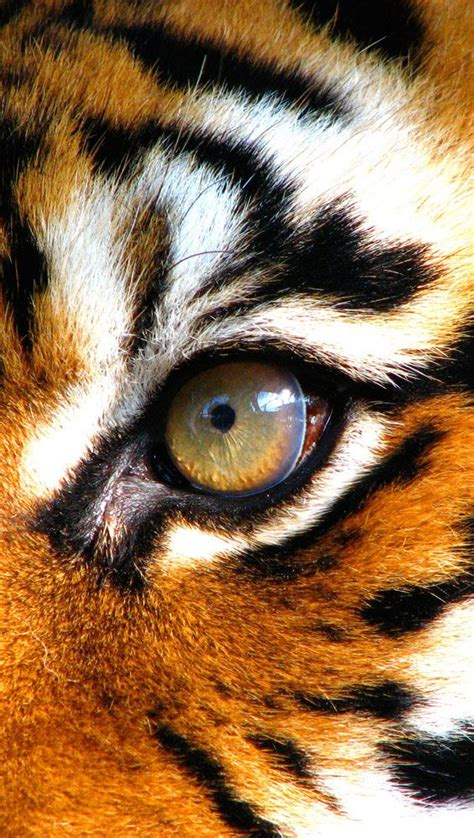 tiger eye tiger eye wild things pinterest