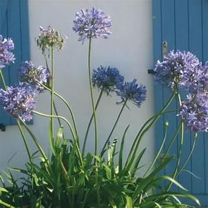 Graines D Agapanthe : graines de fleurs agapanthus umbrella agapanthus praecox ~ Melissatoandfro.com Idées de Décoration