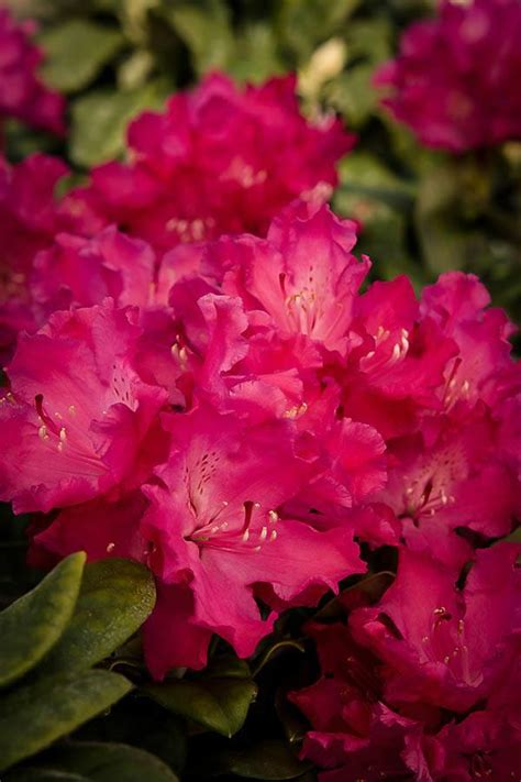rhododendron trees for sale hellikki red rhododendron for sale online the tree center
