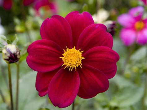 flowers dahlia pictures pictures of dahlias flowers beautiful flowers