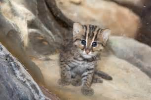 fishing cat fishing cat cub is a for denver zoo zooborns