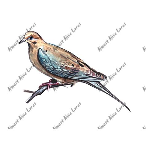 mourning dove sketch