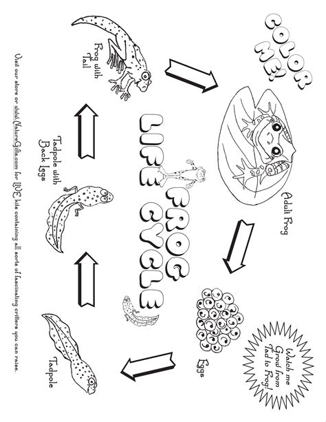 Cycle Of A Frog Coloring Page Coloring Pages Of Plant Cycle Coloring Home