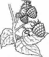 Berries Coloring Pages Fruit Printable Printablecolouringpages Kaynak sketch template