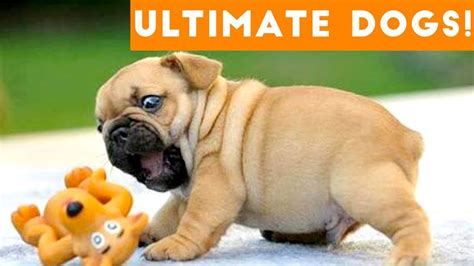 ultimate funny dogs cute puppies