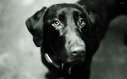 Lab Labrador Screensaver Monochrome A10 Animals Dogs