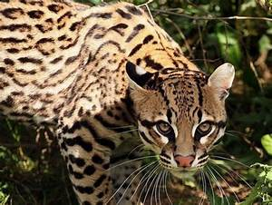 Ocelot-Cat - Cats & Animals Background Wallpapers on ...
