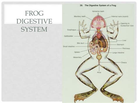 Digestive System Frog Vs. Human. Calendar Of Religious Holidays 2019 Hindu Event Indonesia The Universe May 2015 Timetable For Year 5 And Events